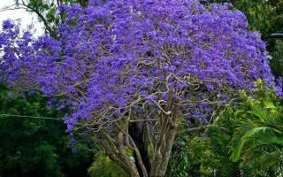 Джакаранда фиалковое дерево в домашних условиях