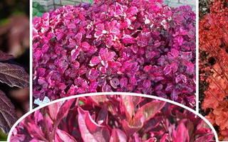 Комнатный цветок с красно зелеными листьями