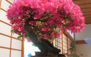 Как сажать семена сакуры бонсай