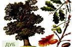 Цветы дуба