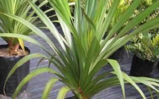 Винтовая пальма панданус