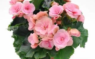 Почему не цветет бегония комнатная