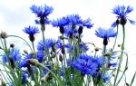 Василек цветок