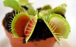 Как из семян вырастить цветок мухоловка