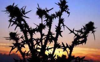 Растения с шипами
