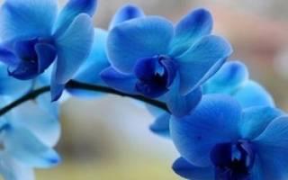 Синие орхидеи