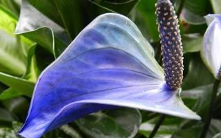 Антуриум голубой