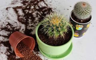 Когда пересаживать кактусы дома