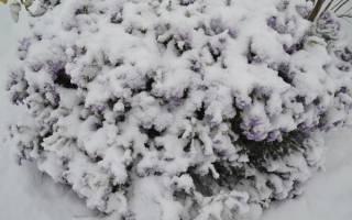 Как укрывать на зиму клематисы