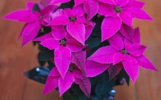 Комнатное растение с красными листьями