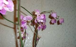Опадают цветы у орхидеи что делать