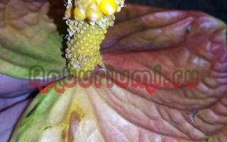 Как выглядят семена антуриума