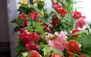 Клен домашний цветок
