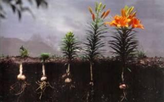 Лилии посадка и уход в открытом грунте