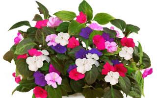 Цветы ванька мокрый