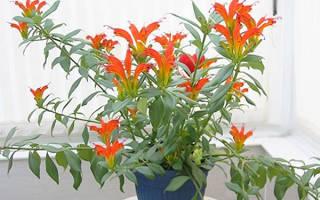 Почему не цветет эсхинантус