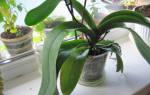 Орхидеи не цветут а пускают новые листья