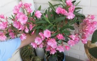 Олеандр цветок уход в домашних условиях