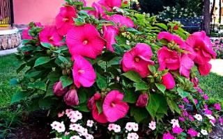 Гибискус садовый травянистый