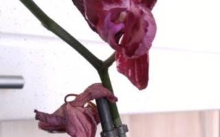Когда можно пересаживать орхидею