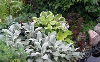 Растение чистец