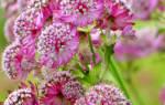 Астранция розовая