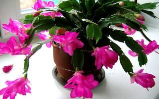 Декабрист цветок как размножается