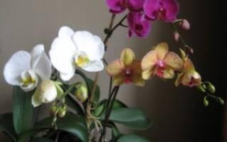 Как использовать янтарную кислоту для орхидей