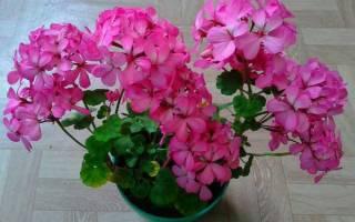 Пеларгония pink ice