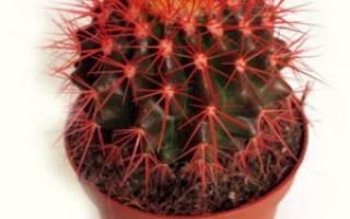 Кактус с красными иголками название
