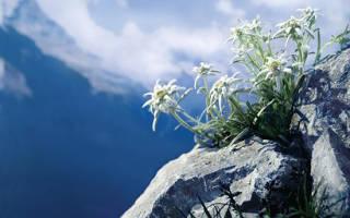 Эдельвейс растение