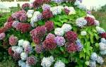 Крупноцветковая гортензия