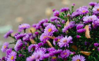 Сентябрины цветы