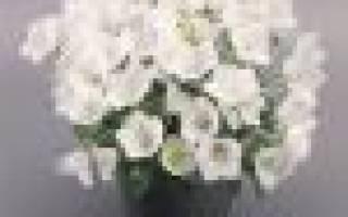 Цветок невеста комнатный как ухаживать