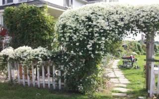 Клематис белый мелкоцветковый