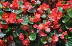 Бегония вечноцветущая размножение