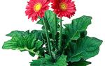 Комнатное растение с красными цветами