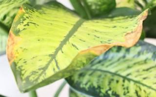 Желтеют листья у диффенбахии