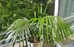 Как размножается пальма