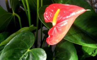 Комнатные цветы мужегоны