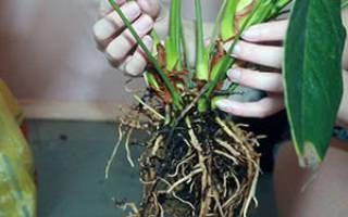 Антуриум можно ли пересаживать во время цветения