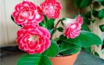 Как посадить глоксинию из листа