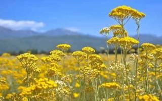 Растение бессмертник лечебные свойства